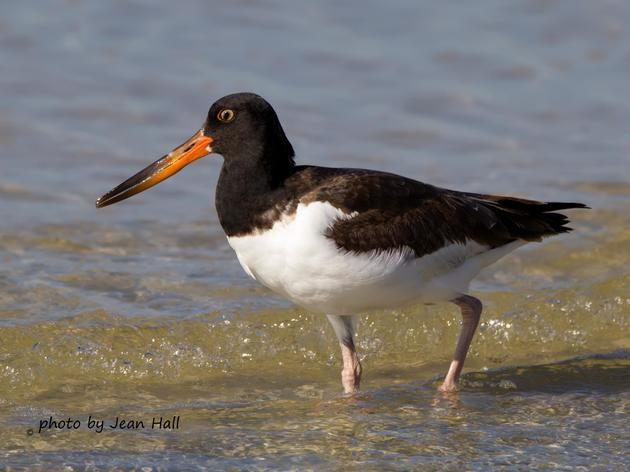 Audubon Florida Releases Bird Habitat Protection Recommendations for Coastal Engineering