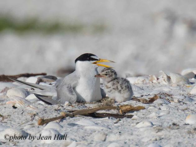 Audubon Florida Applauds FWC's Action to Protect Birds and Wildlife