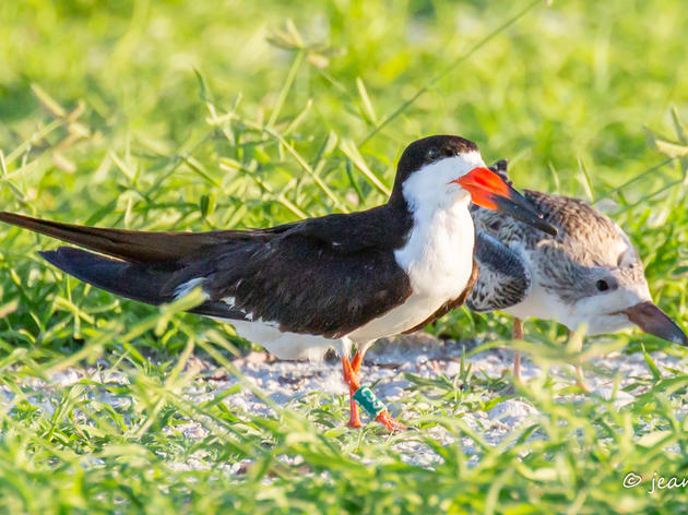 Black Skimmer Banding Study Yields Surprising Results