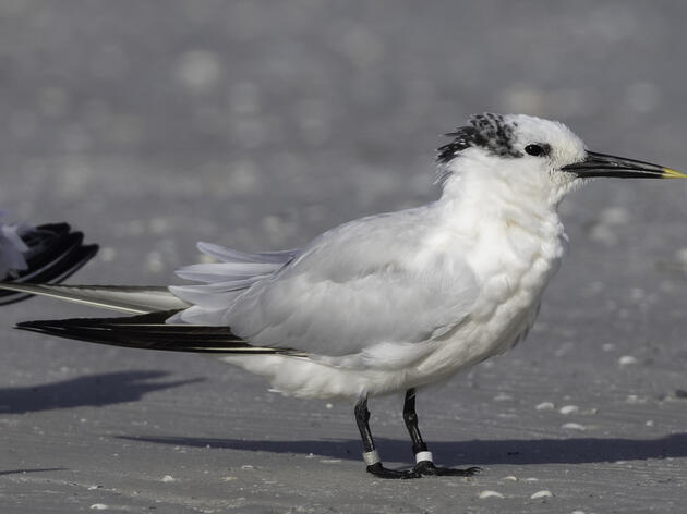 Banded Terns Move Across Florida During Fall Migration