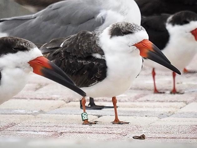 New Records of Banded Skimmers in Key West