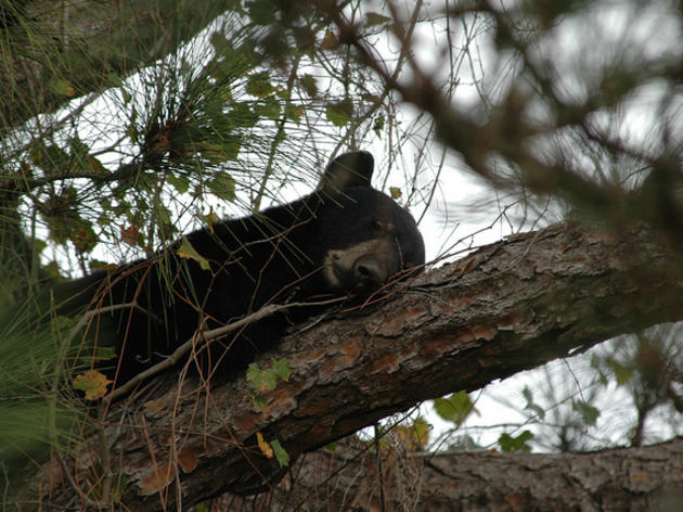 Audubon Grateful to FWC After News on Abusive Bear Hunting Ring Bust