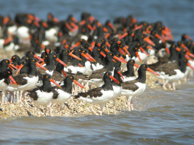 Ninth Season of Nature Coast Surveys Begins With High Shorebird Numbers