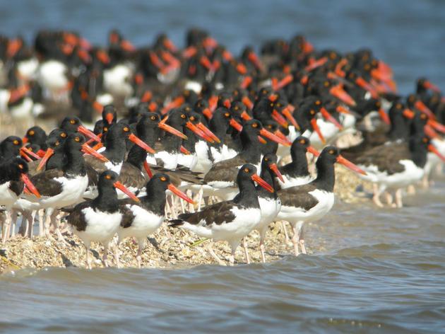 Ninth Season of Nature Coast Surveys Begins With High Shorebird Numbers