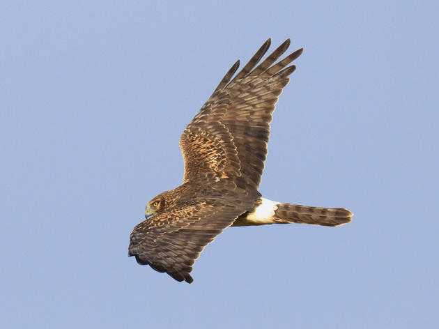 Florida Keys Hawkwatch Update
