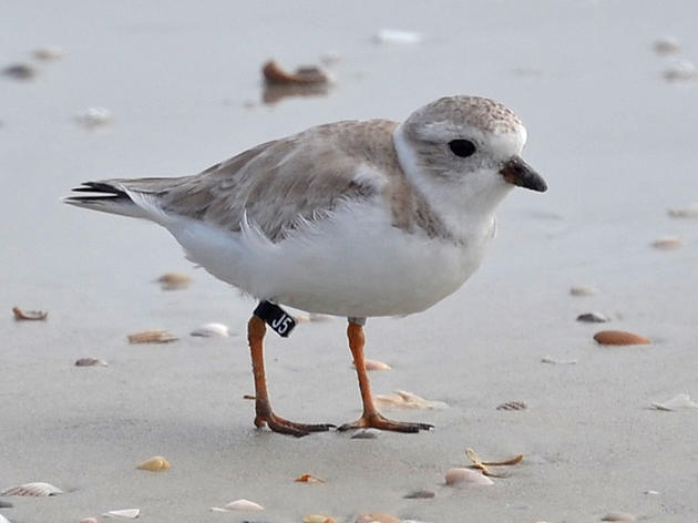 Florida's State Parks Are Critical for Piping Plovers