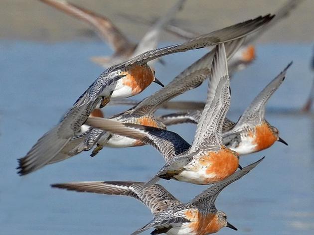 Join Audubon for the 2015 Statewide Mid-Winter Shorebird Survey