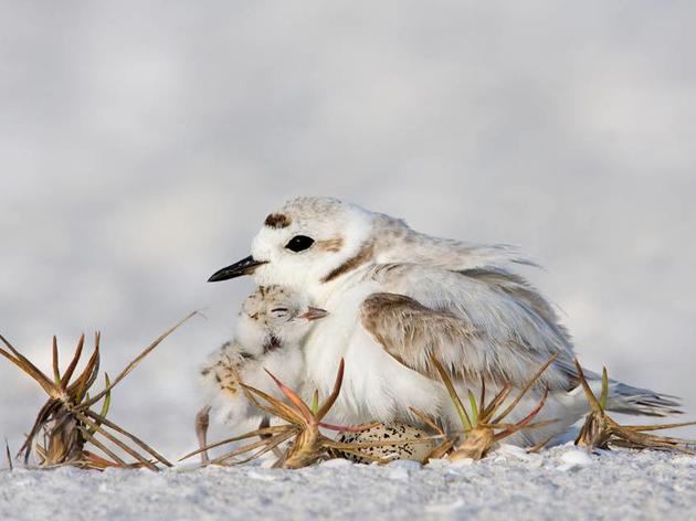 Audubon and the Florida Fish and Wildlife Conservation Commission Asks Public to Protect Coastal Birds this Fourth of July Weekend