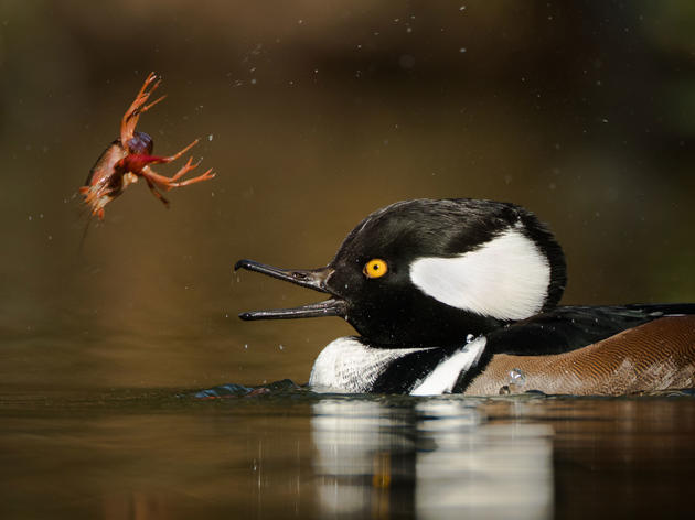 Nom Nom: 22 Astonishing Shots of Birds Getting Their Grub On