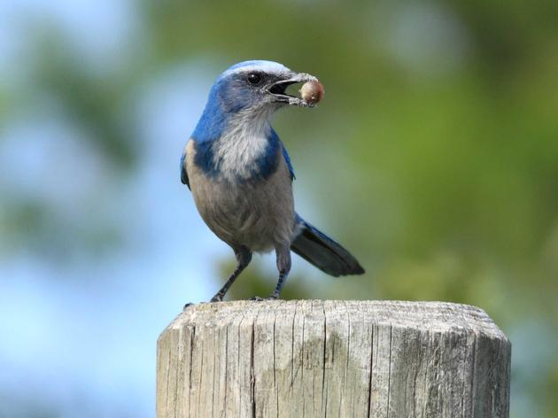 Audubon Fights to Keep Busy Highway Out of Critical Scrub-Jay Habitat