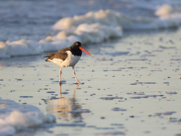 American Oystercatchers: One of Florida's Most Distinctive Species