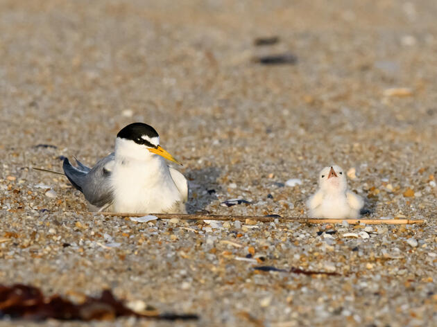 Give Birds Space this Memorial Weekend and Save the Original Beach Babies