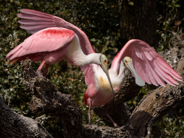 Higher Water Levels Make Nesting More Difficult for South Florida Spoonbills
