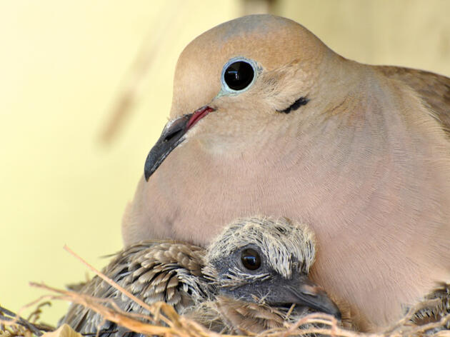 Watching Mourning Doves Becomes a Family Experience