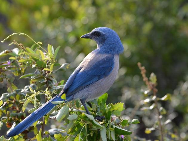 Florida's Award Winning Parks Lead Jay Habitat Restoration