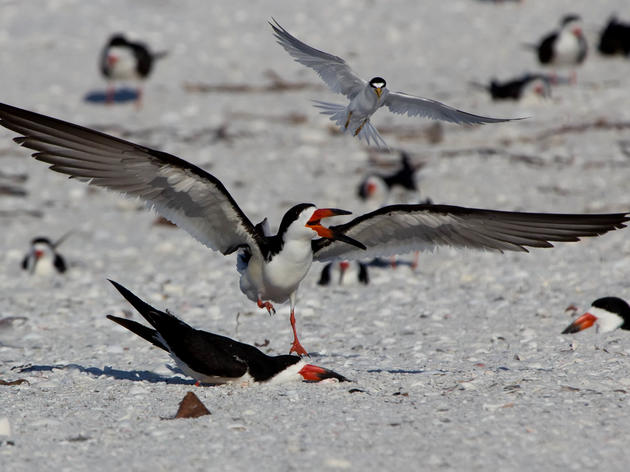 Black Skimmer Chicks Need Our Help On The Beach