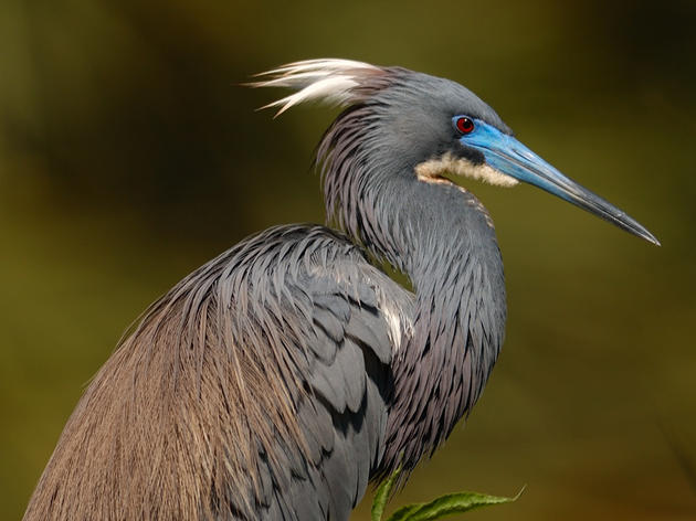 The Tricolored Heron Has More Than Three Colors