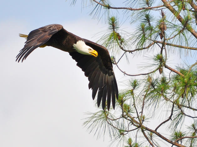 Bald Eagles Nesting Begins, Showing Promise After Hurricane Michael