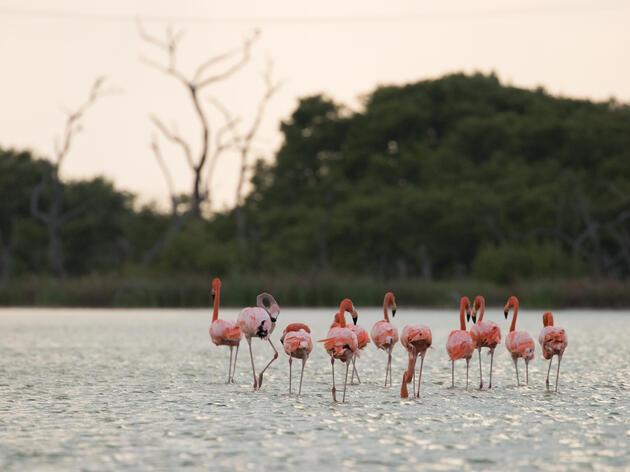 Tracking Technology Illuminates American Flamingo Behavior