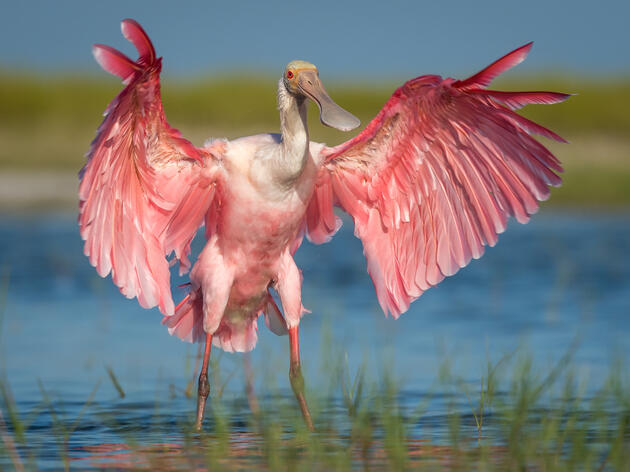 Audubon Studies of the Roseate Spoonbill Track Population Rebound