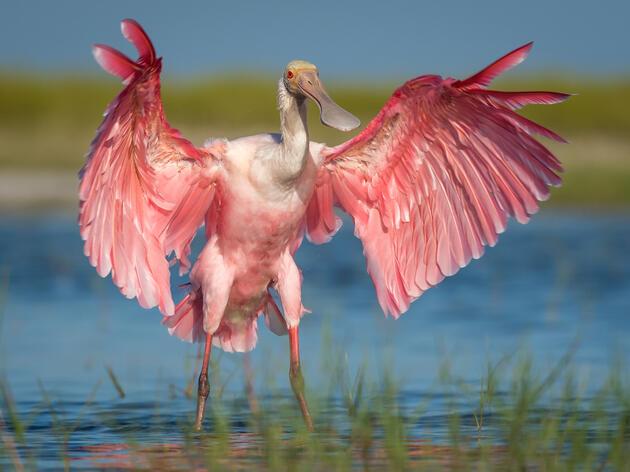 Audubon Studies of the Roseate Spoonbill Track Population Rebound