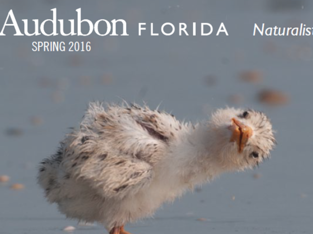 "Free PDF: Audubon Florida Naturalist Magazine Spring 2016 - ""It's a Baby Issue"""