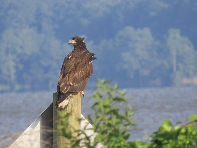 Banded Eagle Spotted Hundreds of Miles from Nest Site