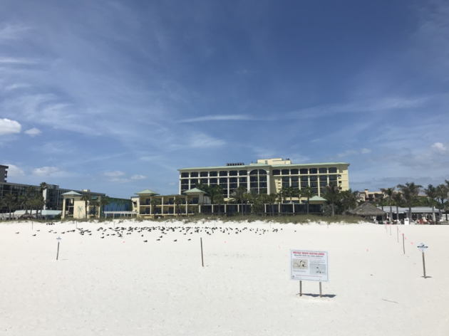 Sirata Beach Resort Becomes Important Black Skimmer Partner