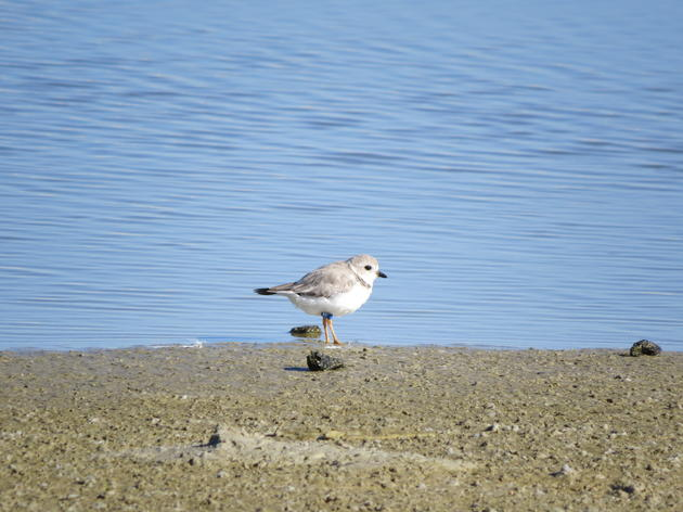 One Tough Survivor: Piping Plover A97