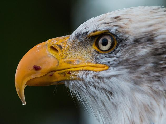 Monitoring Bald Eagles: The Key to Protection