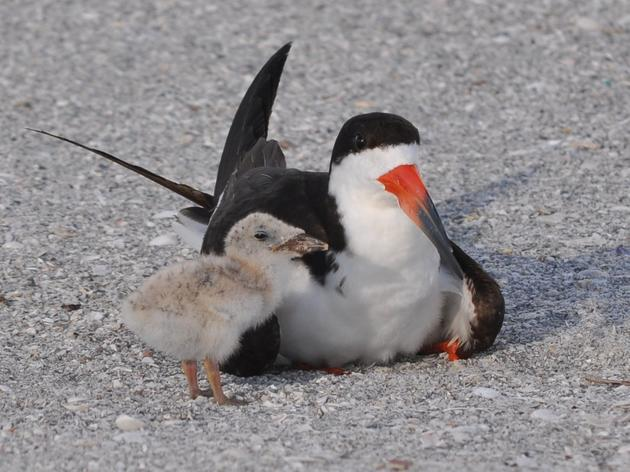 Audubon and the Florida Fish and Wildlife Conservation Commission Ask Boaters and Beachgoers Statewide to Help Coastal Birds this Memorial Day Weekend
