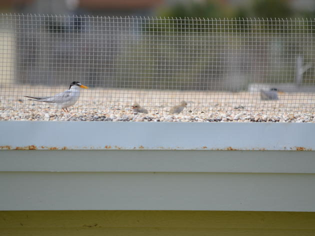 Panhandle's Santa Rosa Mall Helps Audubon Save Imperiled Least Terns