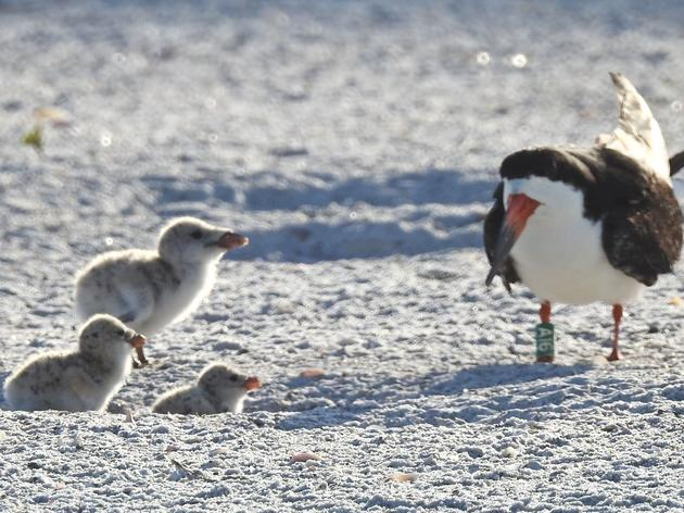 Black Skimmer Lost-and-Found Mystery
