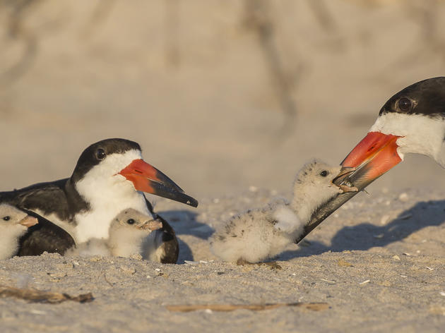 Good News: Audubon Celebrates July 4th Bird Stewardship on Florida's Beaches
