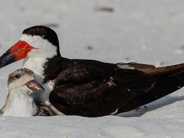 Help Wanted: Report Sightings of Banded Black Skimmers to Audubon