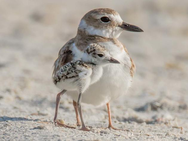 Sharing the Shores: What You Can Do To Help Baby Beach Birds