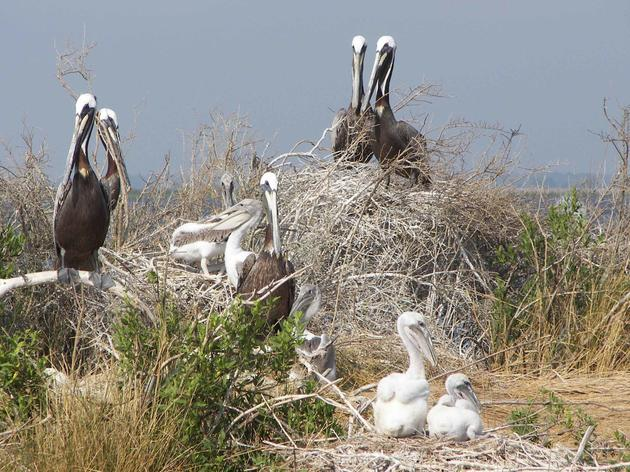 Major Coastal Bird Rookery in North Florida Saved