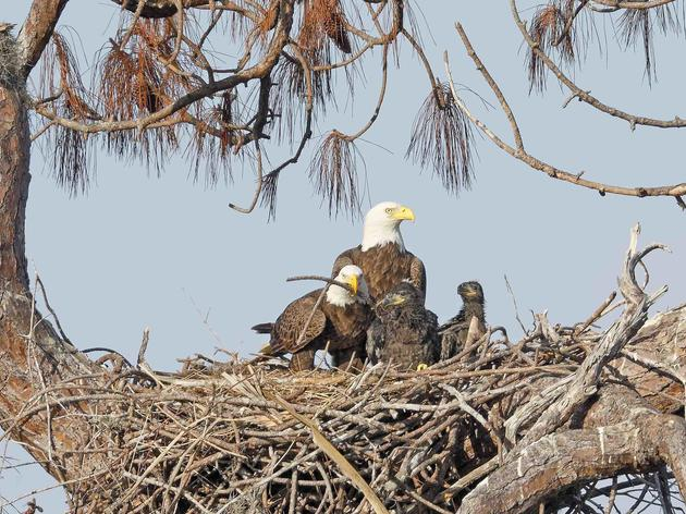 After Flying Under the Radar for More Than a Decade, Male Eagle Discovered With Family