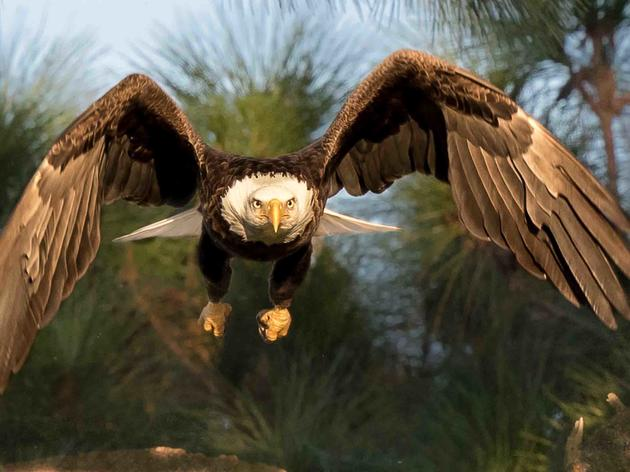 Human and Eagle Population Booms Mean Eagles Need Audubon (and You) Now More Than Ever