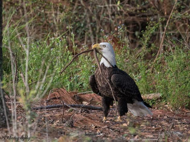 Despite Unwelcome Nest Thieves, Florida's Eagles Persist After Irma Devastation