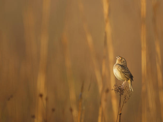 The Rush to Save the Imperiled Florida Grasshopper Sparrow