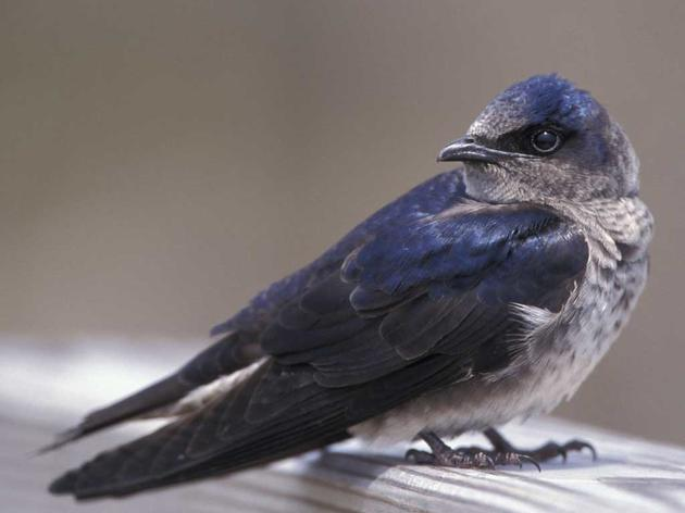 Purple Martins, A Nestful of Fun at Disney