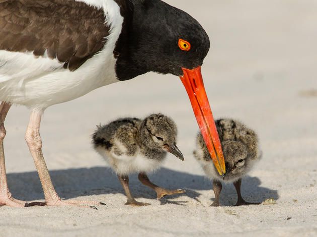 Baby Beach-Nesting Birds Suffer After Tropical Storm Cindy