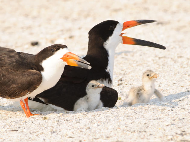 """King"" Tides and Holiday Crowds Pose Double Threat Beach-nesting Birds This Weekend"