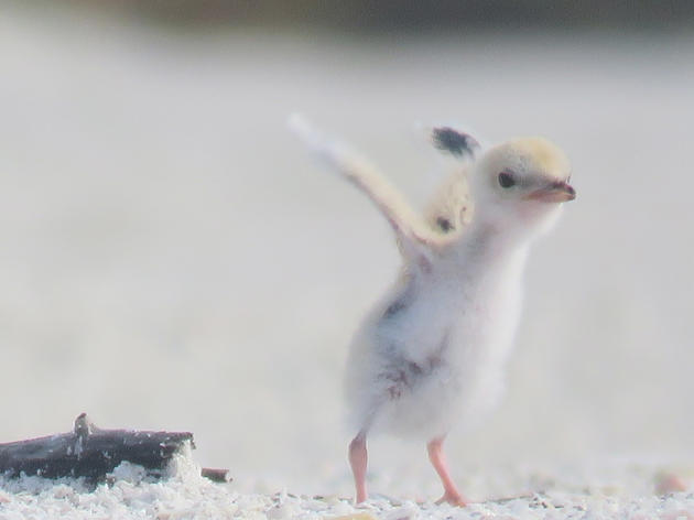 Audubon Reminds Beachgoers and Boaters to Share the Shores with Rare Baby Birds and Eggs