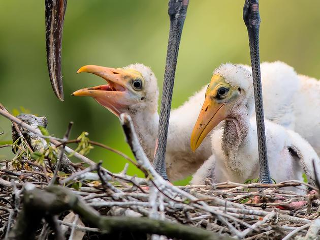Annual Wading Bird Report Shows Ray of Hope for South Florida's Birds