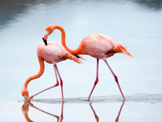 RELEASE: Audubon and Other Researchers Vindicate Flamingo-Loving Floridians with new Research
