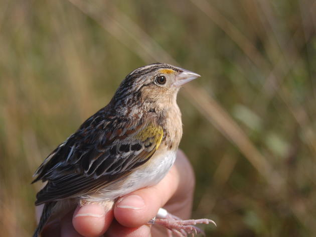 Fantastic News for Florida Grasshopper Sparrows