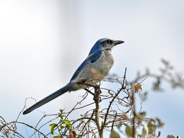 Climate Change Brings New Risks to Vulnerable Scrub-Jay Populations