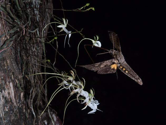 Corkscrew Swamp's Super Ghost Orchid Key to Solving Pollination Mystery